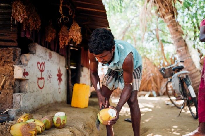 Kunam's son harvesting coconuts ©Ruth Towell